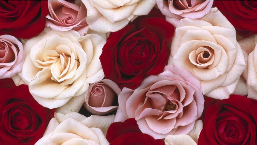 Wallpapers Rosas Blancas Y Rojas Fondos De Pantalla