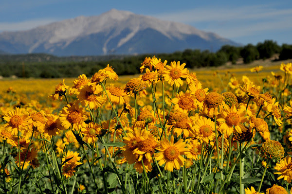 Sunflowers below Mount Princeton
