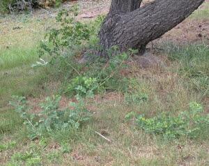 Bladder senna seedlings