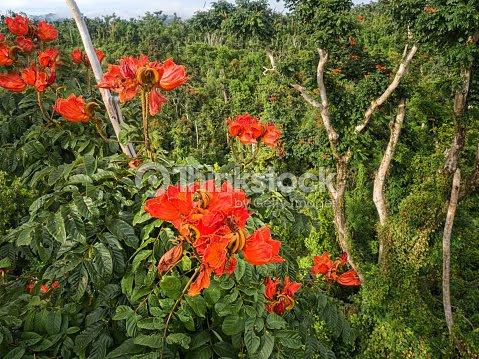 African Tulip Tree In Bloom Dominica Stock Photo Thinkstock