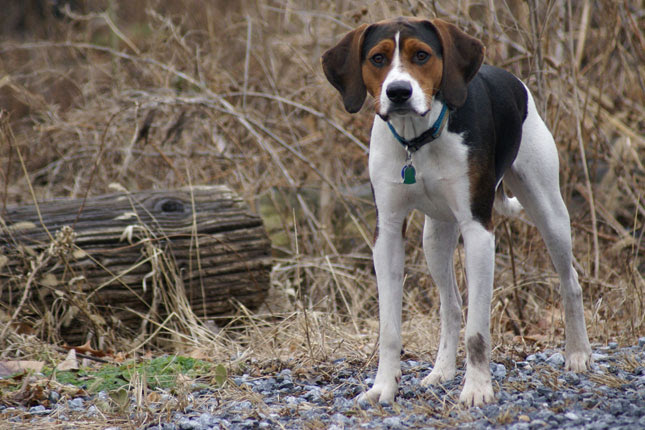 American Foxhound Puppies for Sale from Reputable Dog Breeders