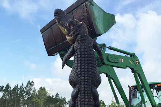 Hunter in Florida shoots monster cattle-eating alligator