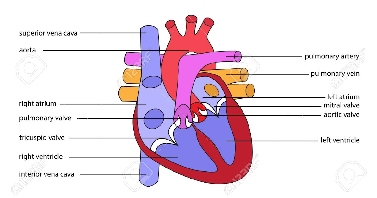 Schematic Diagram Of Human Heart ~ DIAGRAM