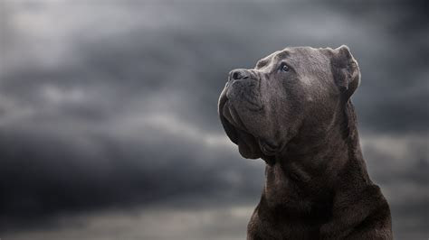 cane corso laptop full hd p hd  wallpapers