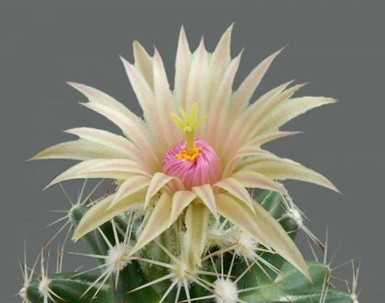 cactus-flowers- (18)