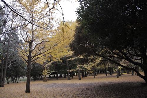 Golden ginkgos of Yoyogi Park