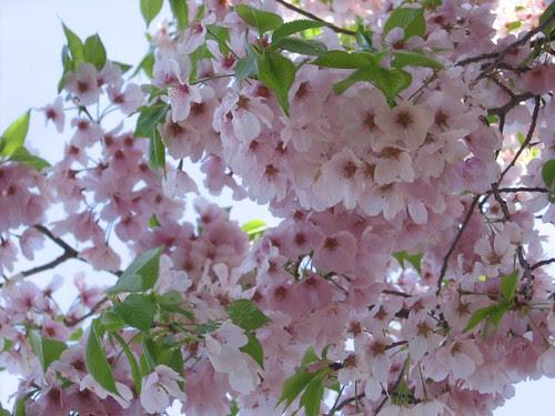 DC cherry blossoms close up