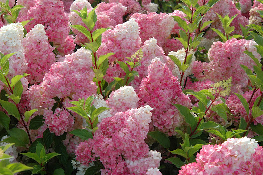 5 Gorgeous Flowering Shrubs to Plant This Fall