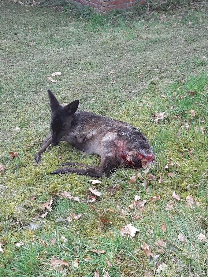 Zwart reegeit doodgebeten door loslopende hond op landgoed Bartimeus