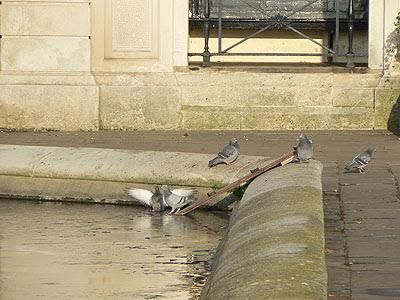 baignade de pigeons.jpg