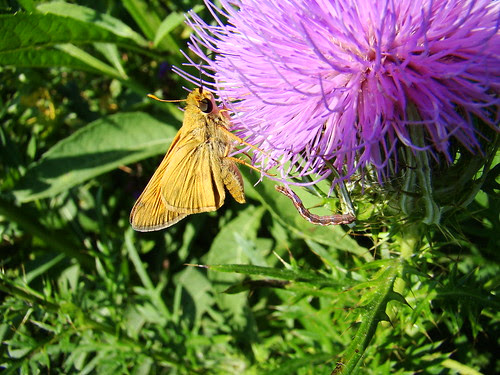 skipper inchworm and thistle2