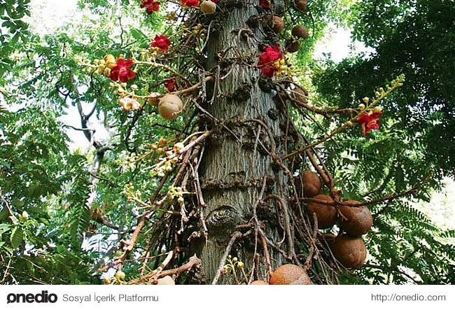 1. Cannonball (top mermisi) ağaçları üzerinde büyüyen meyvenin şeklinden dolayı bu ismi almış.
