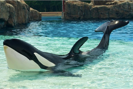 Ontario Announces Groundbreaking Measure To End Orca Captivity