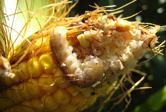 20 years of Bt corn hybrids | Country Guide