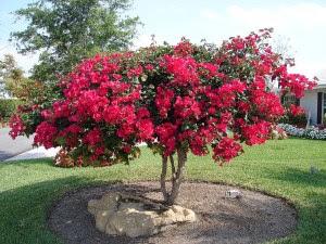 Bougainvillea-Plant