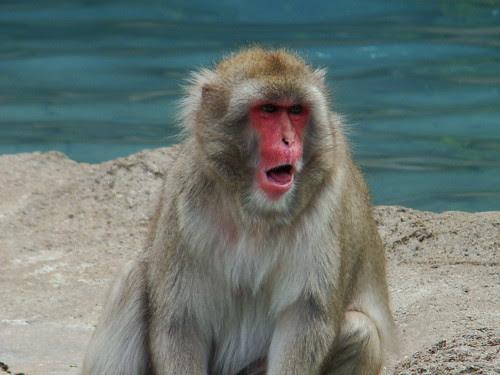 Macaque says ahhh