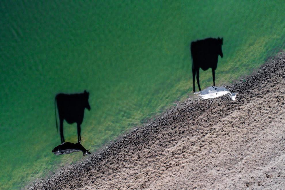 Корови і тіні
