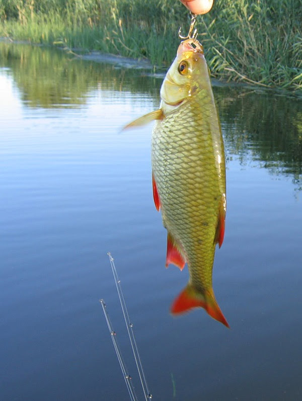 Ловля красноперки, рыбалка на красноперку, как поймать красноперку, способы ловли красноперки, снасти для ловли красноперки пиманки для ловли красноперки
