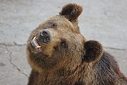Ursus arctos lasiotus - Beijing Zoo 3.JPG