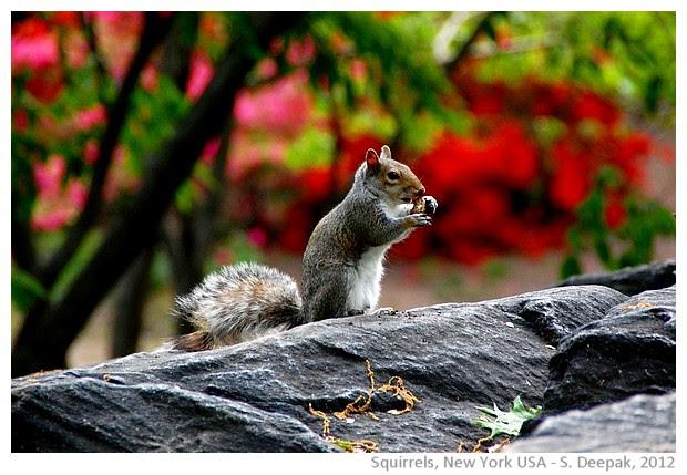 Squirrel, central park, New York, USA - S. Deepak, 2012