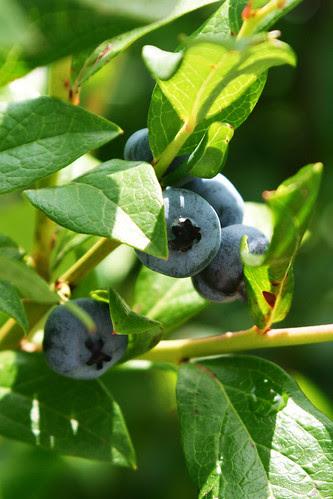 blueberry 1