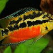 Cichlids Zone - All About Cichlids