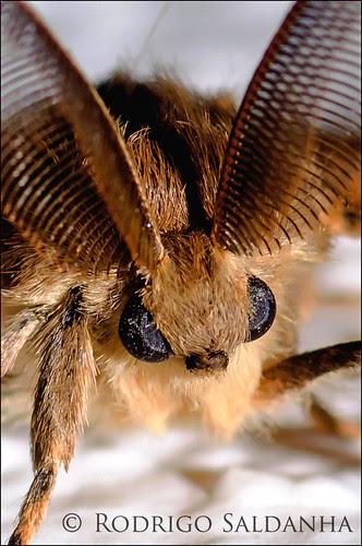 Lymantria atlantica (Lymantridae) by Rodrigo Saldanha de Almeida