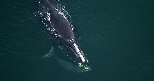 Canada Urged to Expand Fisheries Closures to Save North Atlantic Right Whale | Animal Welfare Institute
