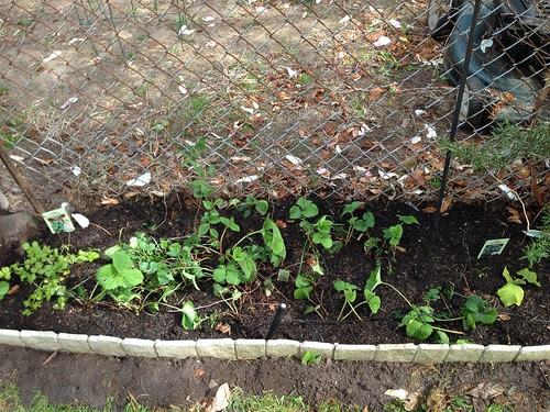 Strawberry patch, cilantro, oregano, cucumbers