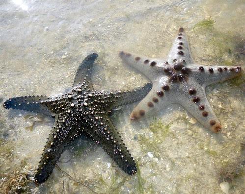 Knobbly sea star (Protoreaster nodosus)  and Pentaceraster sea star (Pentaceraster mammilatus)