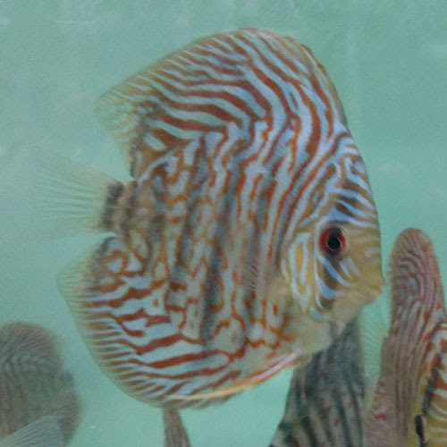 Tiger Turquoise - Wattley Discus