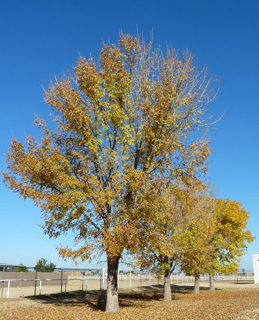 Ash Tree Identification How To Identify White Black Ash Trees