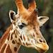 Giraffe, Taronga Western Plains Zoo, Dubbo, New South Wales, Australia  IMG_1612_Dubbo