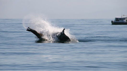 Humpbacks fight off orcas to save sea lion in maritime battle royale - Dolphin Way