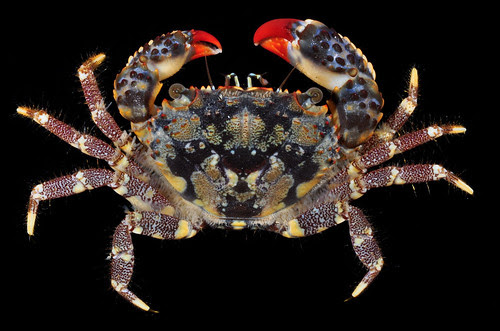 Eriphia gonagra (Fabr.), one of the most common and strikingly coloured crabs on the Brazilian coast