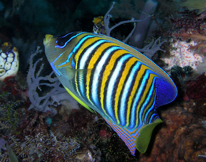 File:Regal angelfish.jpg