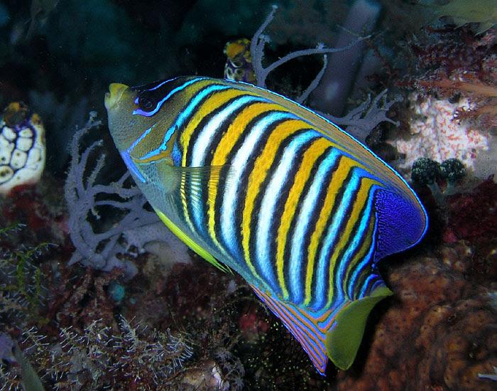 File:Regal angelfish.jpg