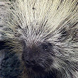 Porcupine - Wikipedia, the free encyclopedia