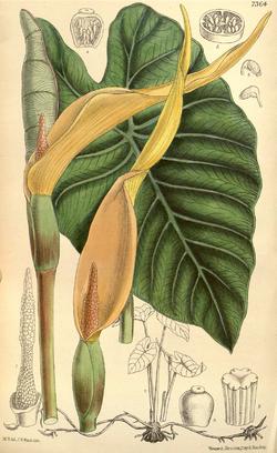 Colocasia esculenta CBM.png