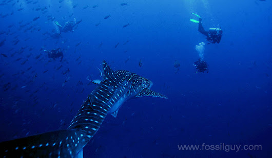 Whale Shark Facts and Information