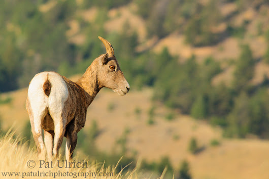 Bighorn sheep surveying the valley, Yellowstone National Park