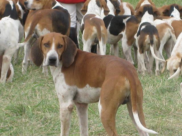 piedmont foxhounds