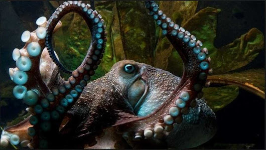 Octopus slips out of aquarium tank, crawls across floor, escapes down pipe to ocean
