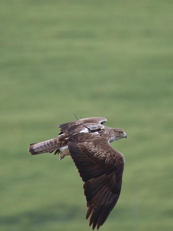 AQUILA a-LIFE contribuirá a la recuperación del águila de Bonelli en España e Italia