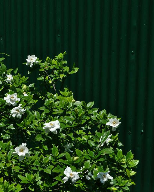 Gardenia jasminoides (2)