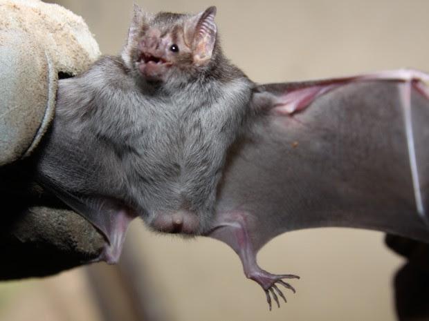 Resultado de imagem para Captura de morcego