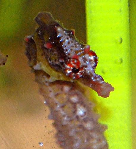 Hippocampus tuberculatus