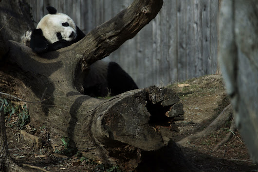 Some Giant Panda Bear Facts You Don't Wanna Miss [VIDEO]