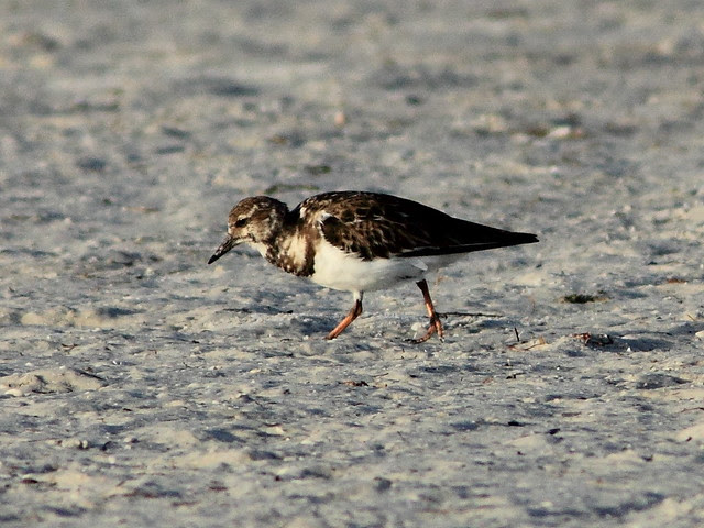 Ruddy Turnstone 2-20130311