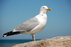 Seagull 1